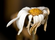 withering flower